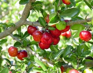Menjual bibit tanaman barbados cherry