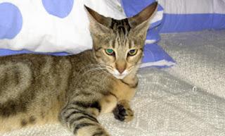 Gambar Kucing Sokoke