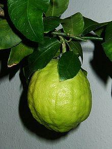 Citrus medica garden plant