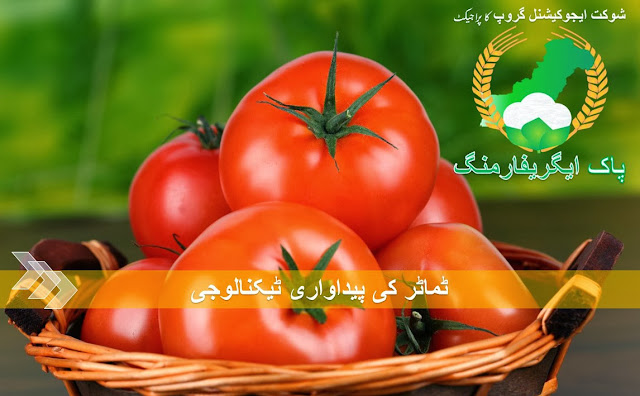 Tomato Production Technology in Pakistan urdu language