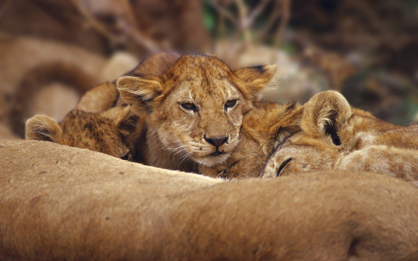 http://1.bp.blogspot.com/-62sEnJLQ-jc/ThFd4XXjtrI/AAAAAAAABf4/81qmN53kuw0/s1600/Wallcate.com+-+Amazing+Wild+Africa+Wallpaper+%252824%2529.jpg