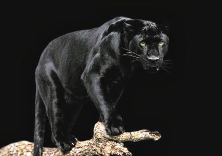 Pantera Negra Imágenes De Archivo, Vectores, Pantera