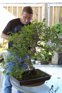 Watering a Chinese Elm Bonsai