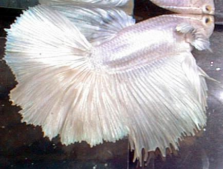 White Half Moon Betta Fish