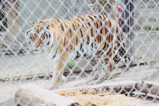 Cat tales zoo tiger