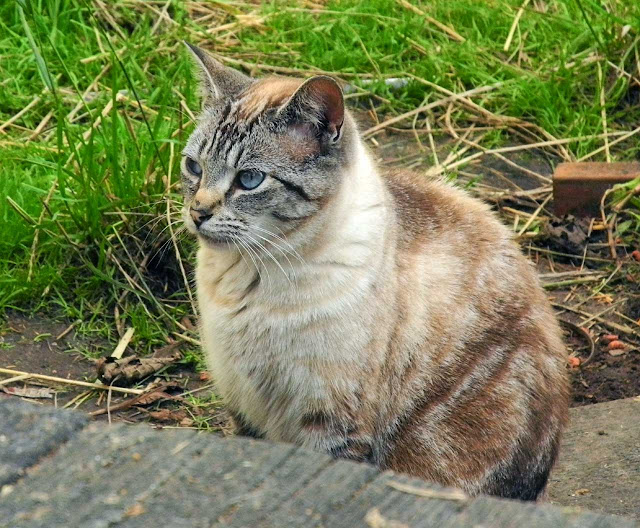 Fran the Siamese former feral cat is a hero
