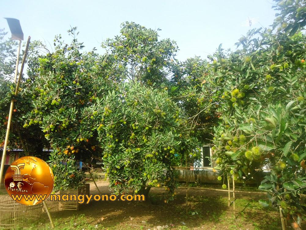 FOTO : Pohon rambutan di Samping Rumah
