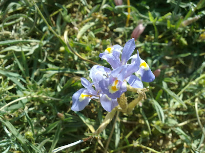 Iris, Malta