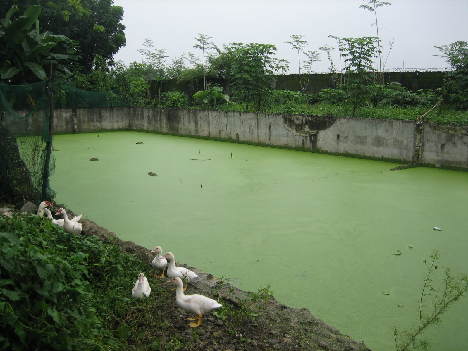 Crusor natural farming system our feed pond duckweed ducks for Garden pool duckweed