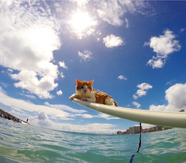 Kuli the cat, surfing