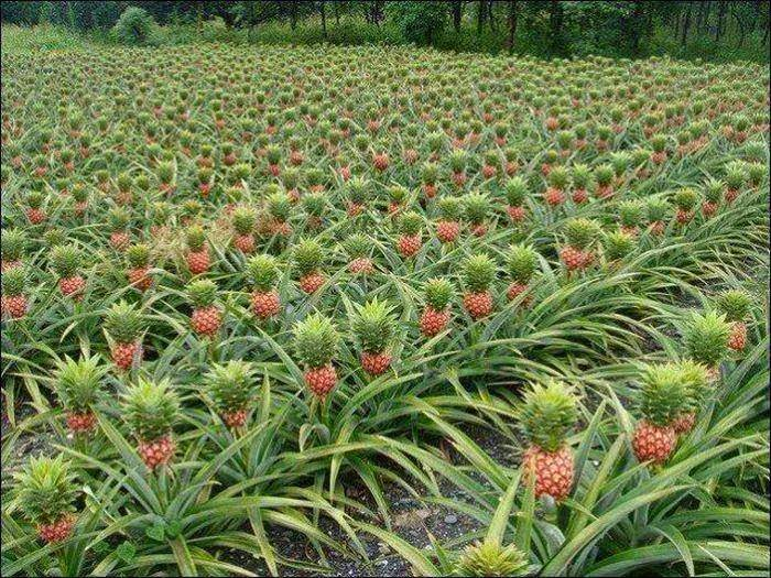 Mariyam ameena pineapple growing for How do i plant a pineapple top