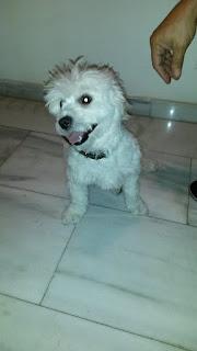 Βρέθηκε την 1/11/2015 ολόλευκη σκυλίτσα στα Άνω Πετράλωνα κοντά στην οδό Χαμοστέρνας. Δεν είχε λουράκι στο λαιμό της και είναι πάρα πολύ φιλική.