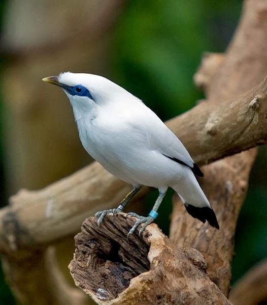 Klasifikasi Burung Jalak Bali Ocehan Burung