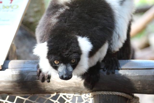 Lemur del Selwo Aventura de Estepona