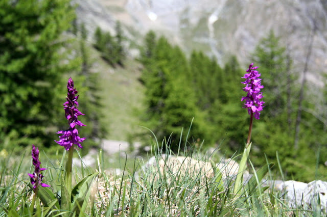 Männliches Knabenkraut Valle Maira Ligurische Alpen