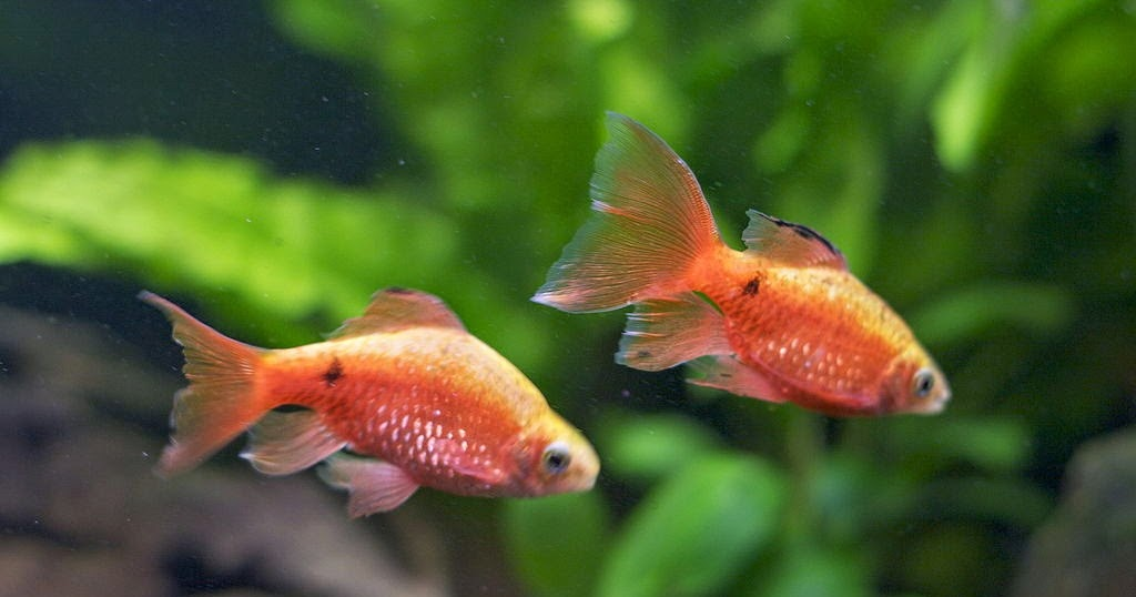 Freshwater frenzy rosy barb fact sheet for Betta fish life expectancy