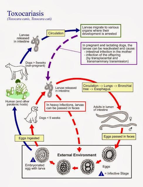 Vòng đời của Toxocara canis qua chó, mèo và con người.