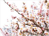 淡いピンクの梅の花