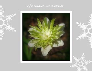 Anemone nemorosa fylld vitgrön