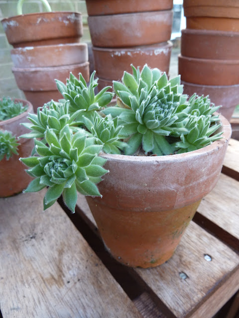 succulent over winter