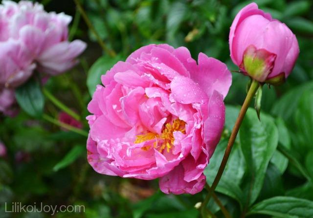 Summer Garden Tour: Pink peonies