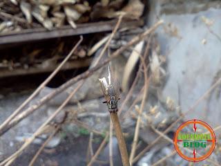 Koleksi Foto Lalat