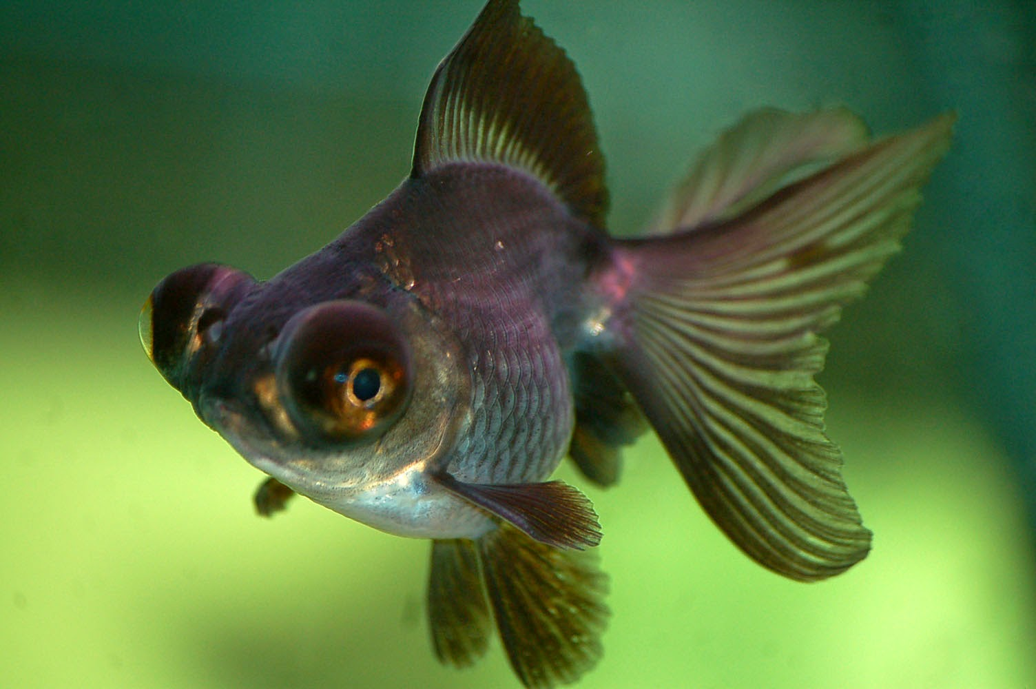 Black Goldfish Types a moor if it is all black