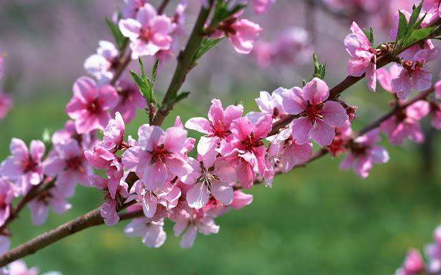 Những tia nắng rọi vào làm cành hoa đào thêm xuân sắc