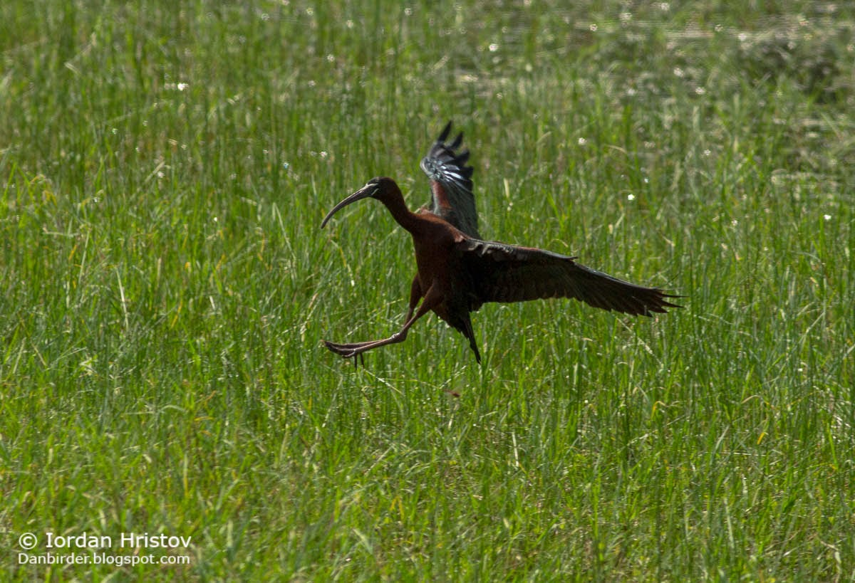 Glossy Ibis, copyright Iordan Hristov