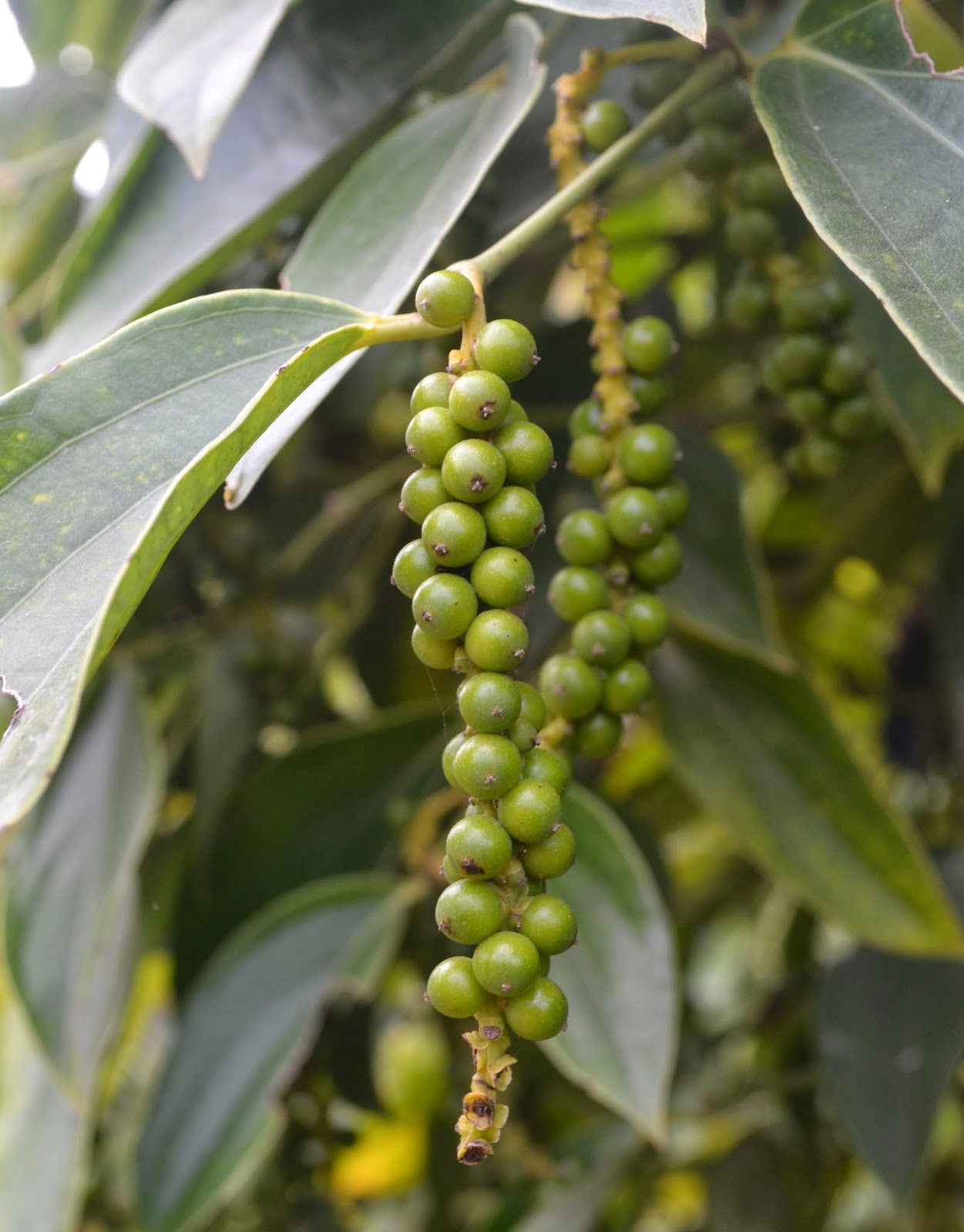 green peppercorns kampot cambodia