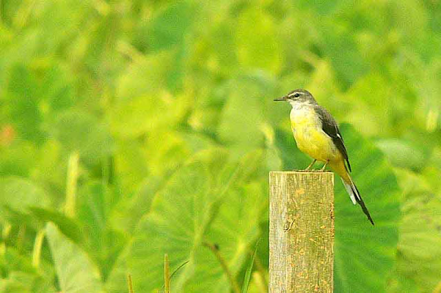 Grey Wagtail, bird, fence