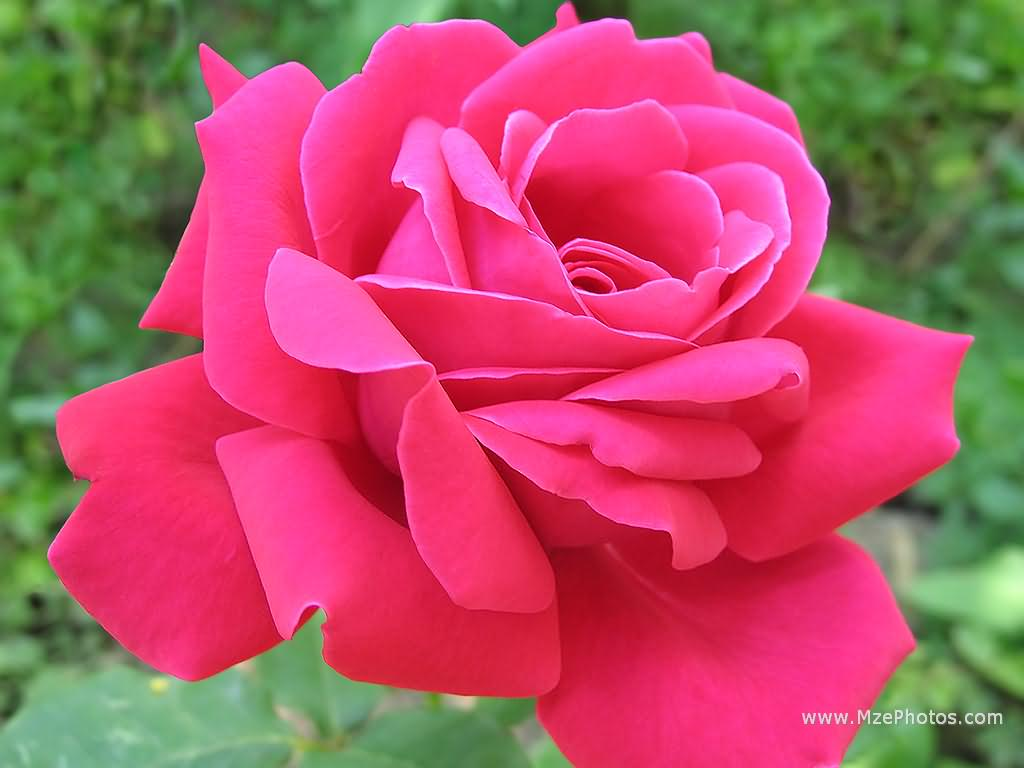 http://1.bp.blogspot.com/-68BLFCQZH5o/TV3658v0ztI/AAAAAAAAJB4/W5xTTeEybJM/s1600/pink+rose+wallpapers+%25283%2529.jpg