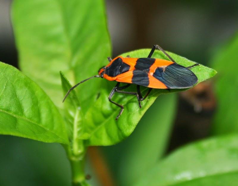 florida survival gardening the milkweed bug. Black Bedroom Furniture Sets. Home Design Ideas