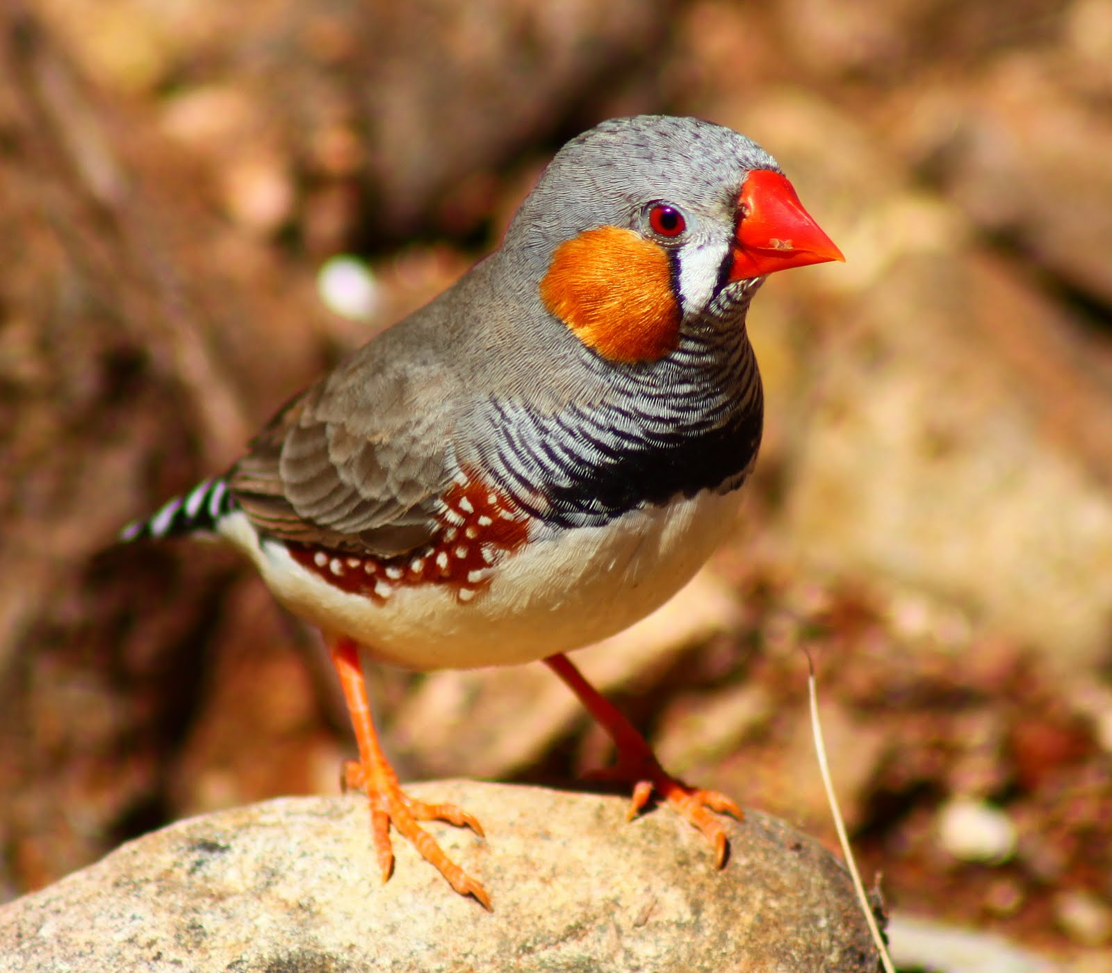 Richard Waring's Birds of Australia: Zebra Finches (again) but they are so friendly1600 x 1401 jpeg 209kB