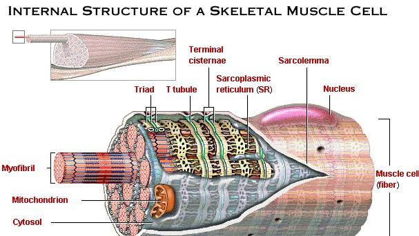 El Rincón del Odontólogo: El Músculo Esquelético: Micro-Anatomía-La ...
