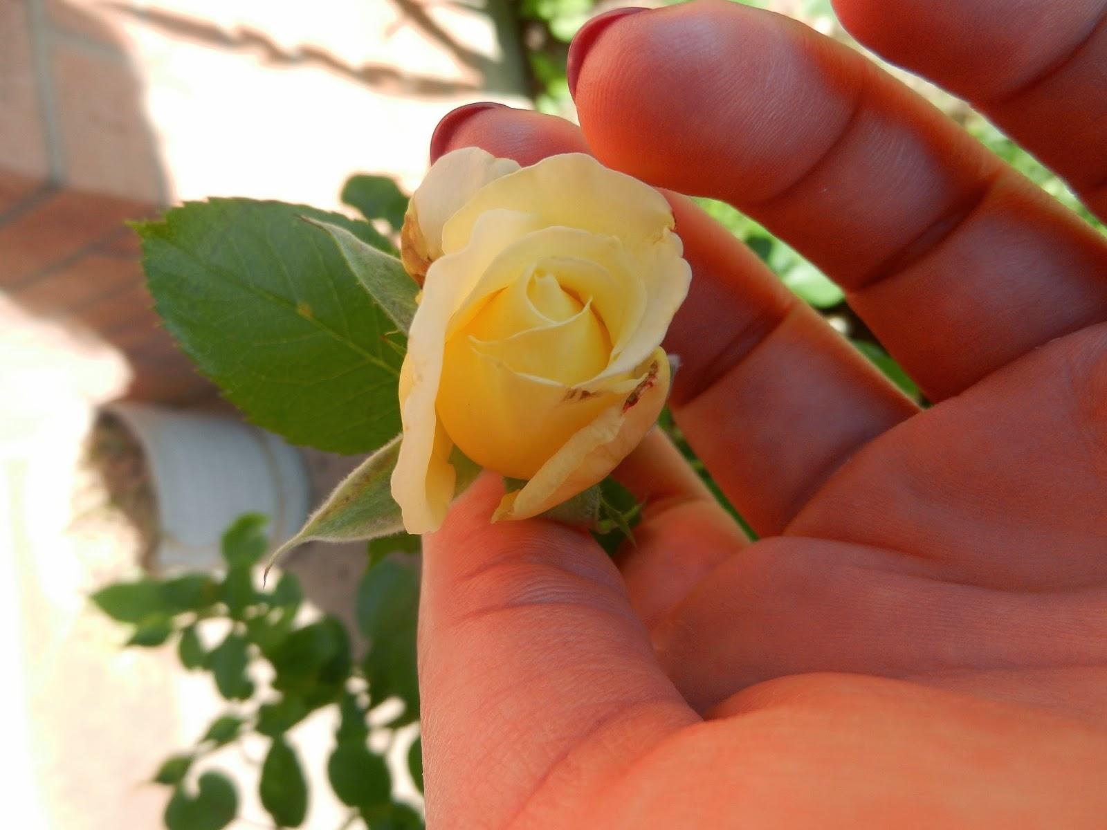 yellow white rose