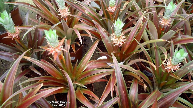 roubo de anao de jardim : roubo de anao de jardim:Meu cantinho verde: ABACAXI-DE-JARDIM – ( Ananas lucidus )