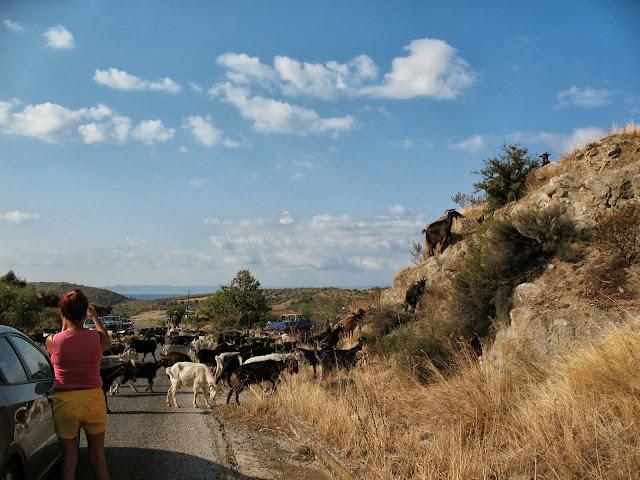 Greek goats