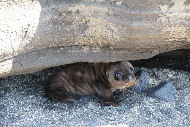 Funny animals of the week - 3 January 2014 (40 pics), cute baby seal hides under a rock
