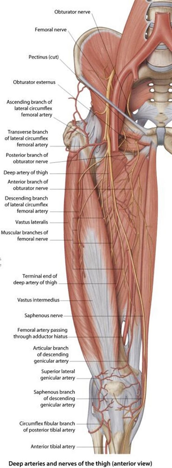 quadriceps tendon rupture: femoral nerve block, Muscles
