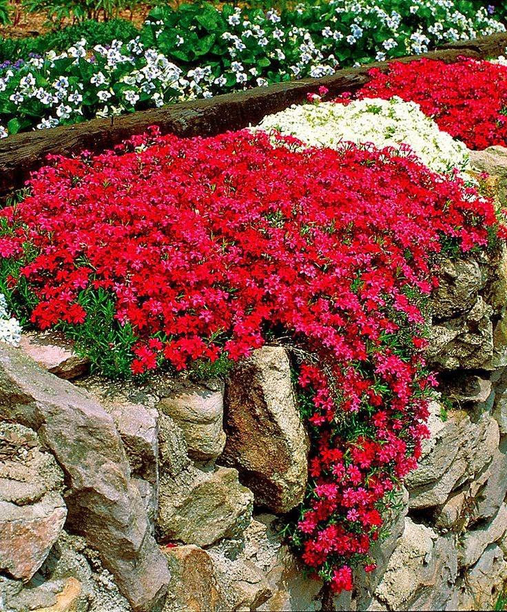 Gardenlovers moss phlox phlox subulata is a richly for Outdoor plants and flowers