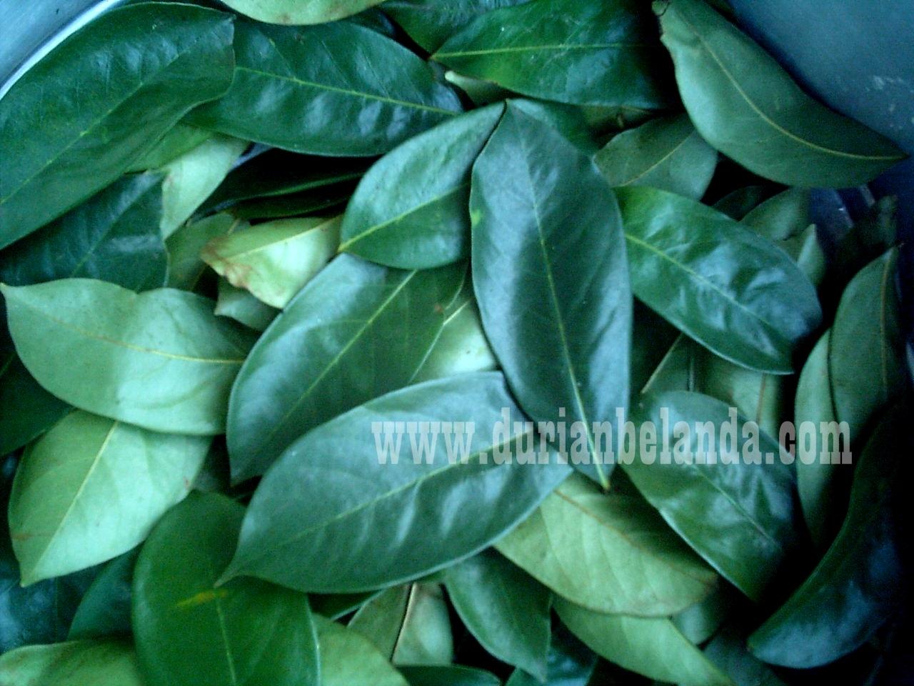 single hijau daun Lünen