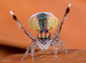 """""""عناكب الطاووس"""" أجمل عناكب العالم 5.jpg"""