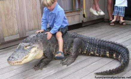 Funny Crocodile Wallpaper For Desktop Picture Video Clip