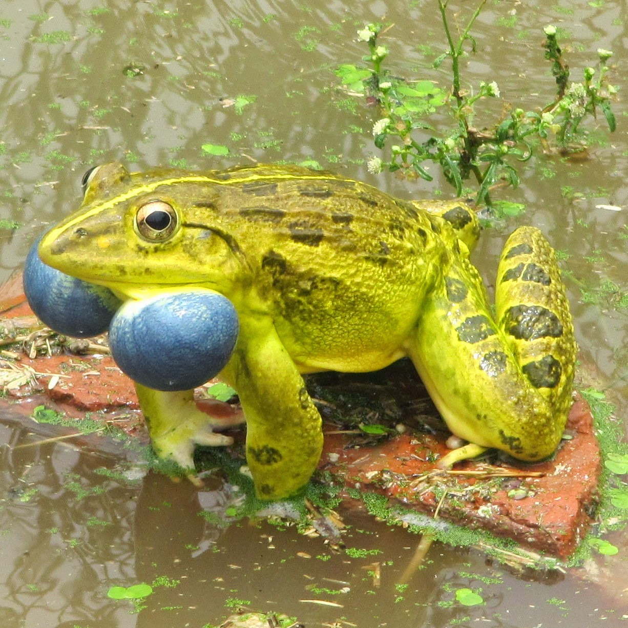 Frogs are seen in abundance during raining season