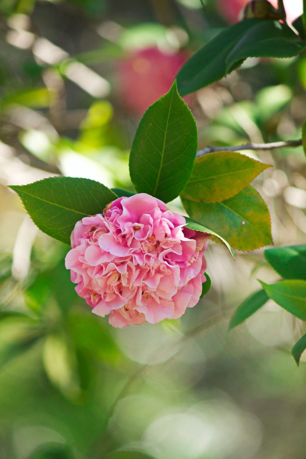 vintage pink roses - photo copyright Allison Beth Cooling