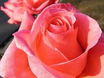 Rosa abriendo