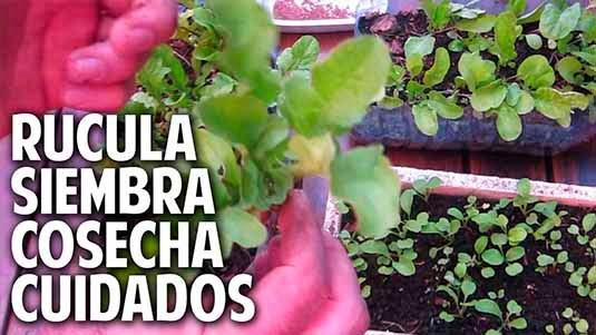 Como sembrar rucula, cultivo cuidados y cosecha. Satisfacción Garantizada! - 1