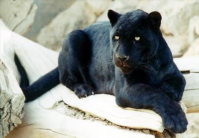 black leopard panther