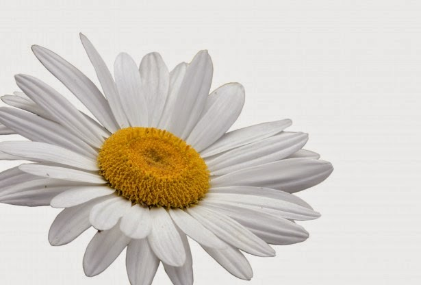 flower white background
